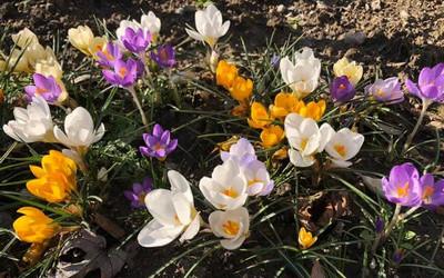A tavasz virágai