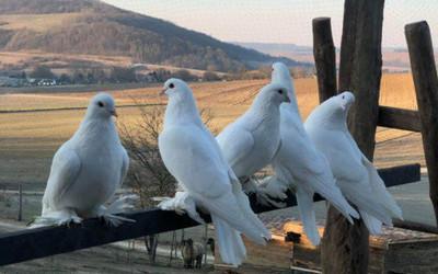 Megérkeztek a galambok
